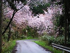眉丈が丘(中能登町)の桜の画像