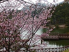 碁石ヶ峰(中能登町)の桜の画像