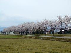 ヘルスロード(能美市)の桜の画像