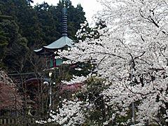 医王寺(加賀市)の桜の画像