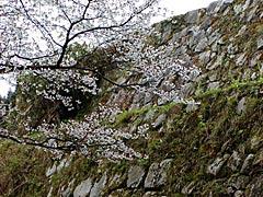 七尾城跡の桜の画像