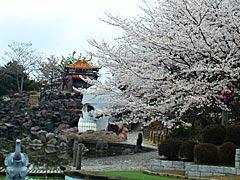 加賀中央公園の桜の画像