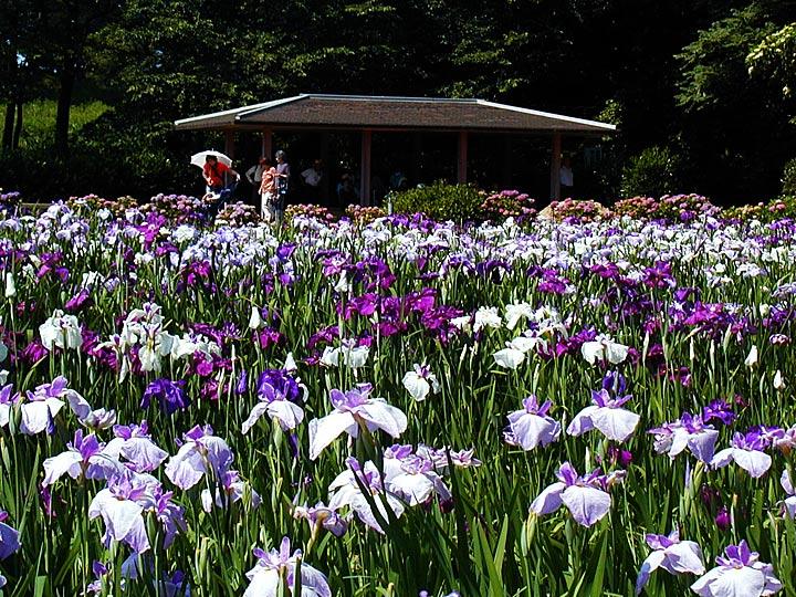 北潟湖の花菖蒲園 :金沢観光情報...
