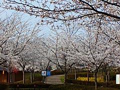 志乎・桜の里古墳公園(宝達志水町)の桜の画像