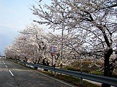 子浦川河岸(宝達志水町)の桜の画像