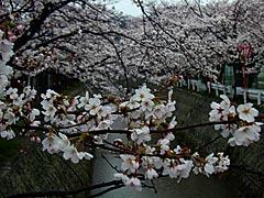 熊坂川河畔(加賀市)の桜の桜の画像