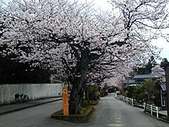 大堰宮(加賀市)の桜の画像