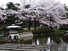 芦城公園(小松市)の桜の画像