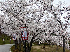 百虎山公園(宝達志水町)の桜の画像