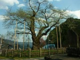 庄川桜と御母衣ダム