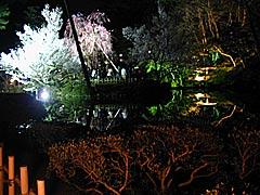 兼六園の桜のライトアップの画像