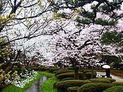 兼六園の桜の画像