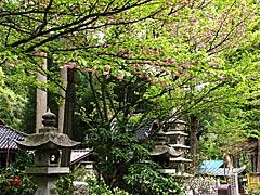 来迎寺(穴水町)の桜の画像