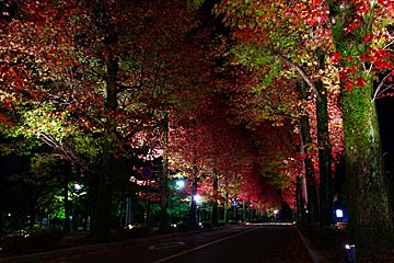 アメリカ楓通りのライトアップ