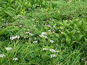 白山室堂の花