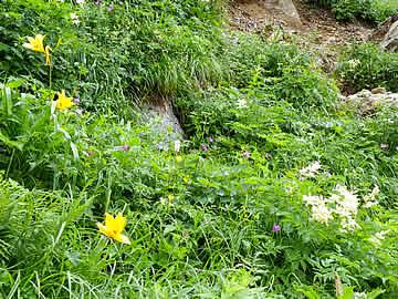 白山の登山道の花畑