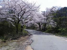 浄蓮寺への林道の桜