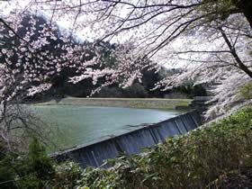 新宮ダムの桜