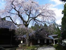 浄蓮寺のしだれ桜