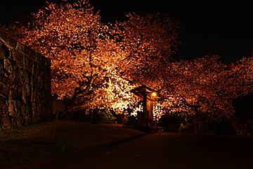kanazawajousakura1