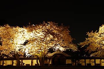 kanazawajousakura5