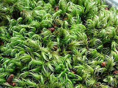 苔の園の苔