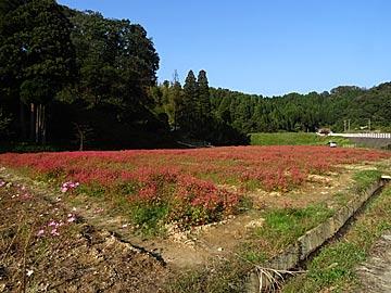 津幡町の天神の湯の赤花の蕎麦畑