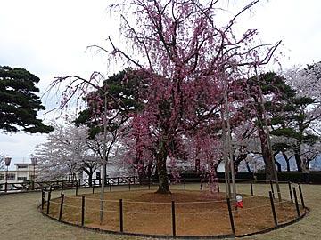 maruokasakura5