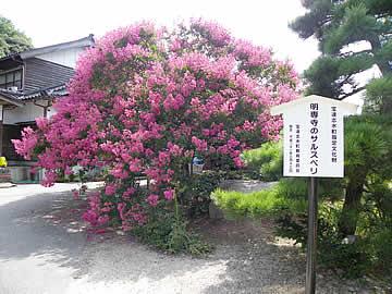 明専寺のサルスベリ