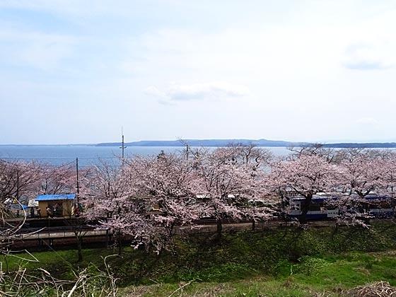 notokasimasakura1