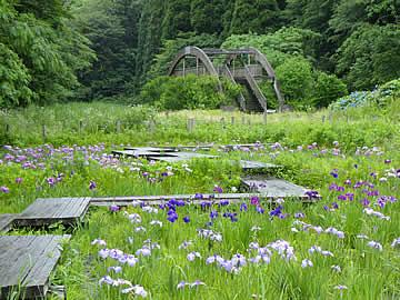 石川県森林公園の花菖蒲園