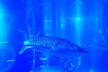 のとじま水族館のジンベエザメ