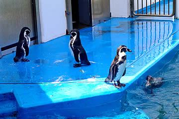 のとじま水族館のペンギン