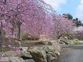 羽咋市千路町の桜