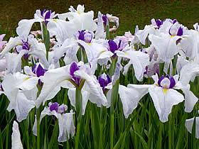 柳田植物園の花菖蒲